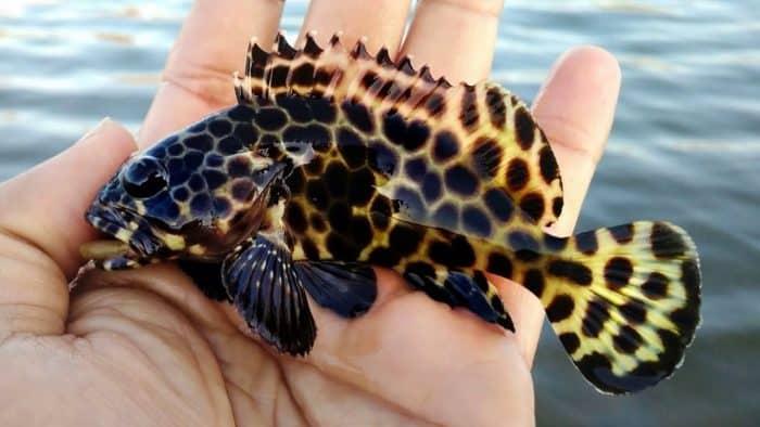 Ikan Kerapu Cara Merawat Budidaya Pakan Harga Jual Lengkap