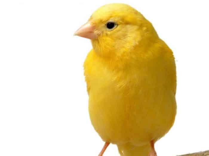 86+ Gambar Variasi Burung Finch Paling Keren