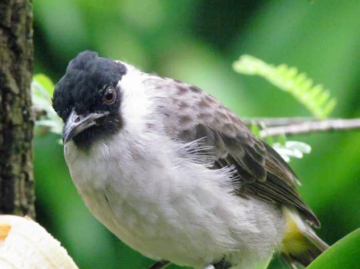Burung Kutilang Cara Merawat Pakan Harga Jual Lengkap