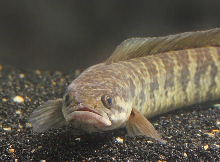 Ikan Gabus Cara Merawat Budidaya Pakan Harga Jual Lengkap