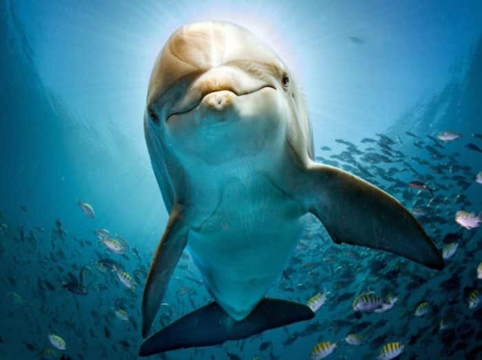 Ikan Lumba Lumba