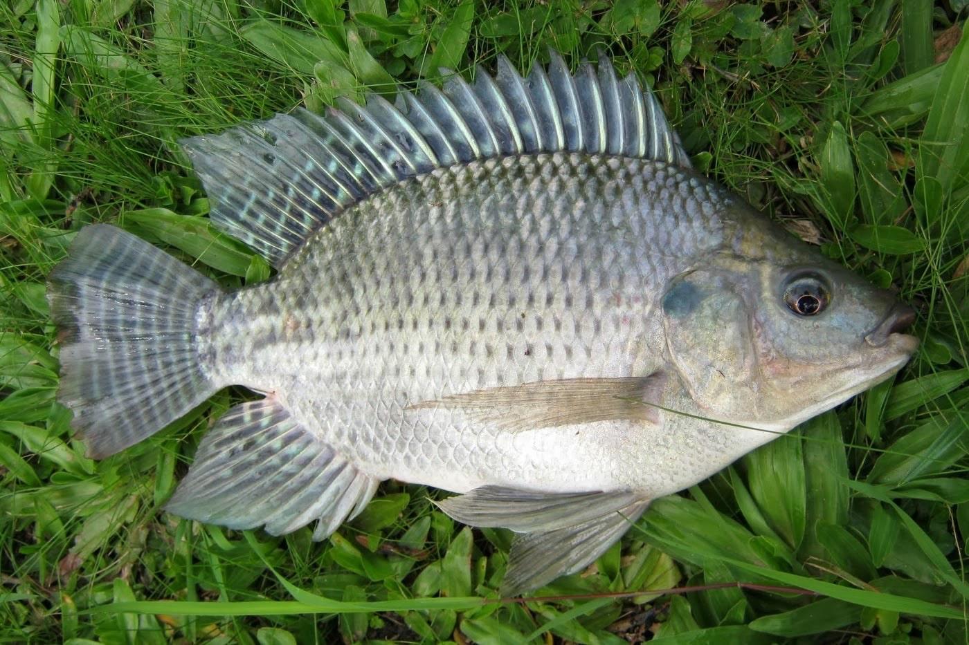 Ikan Nila Cara Merawat Budidaya Pakan Harga Jual Lengkap