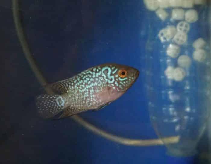 Ikan Louhan Cara Merawat Budidaya Pakan Harga Jual Lengkap