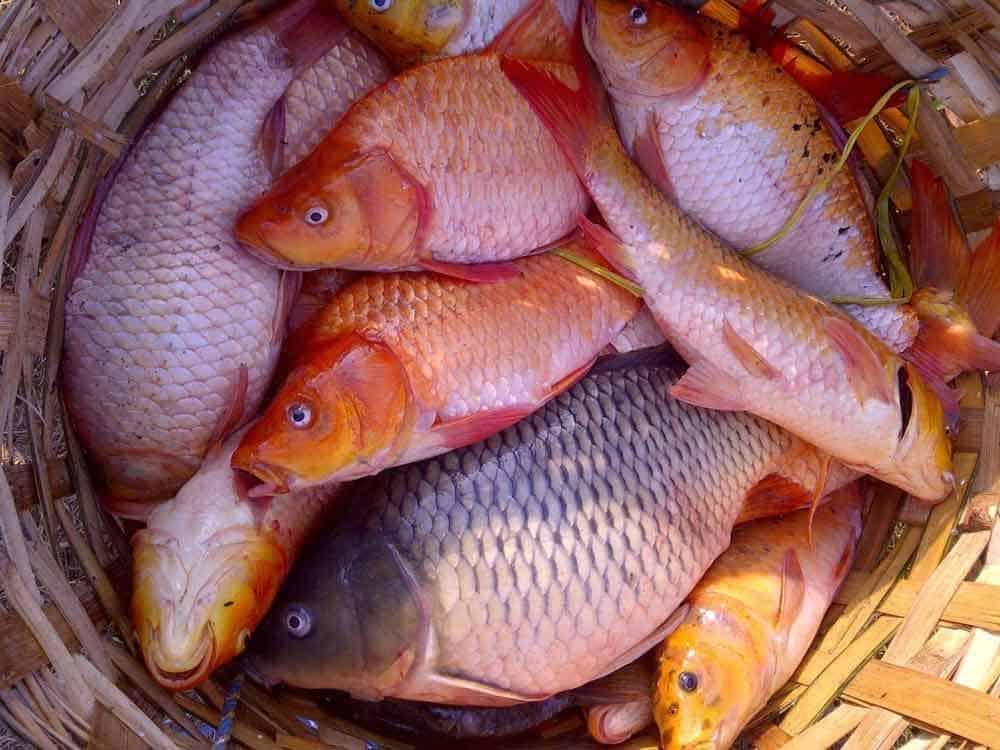 Ikan Mas Cara Merawat Pakan Harga Jual Lengkap