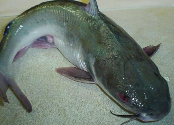 Ikan Patin Cara Merawat Budidaya Pakan Harga Jual Lengkap