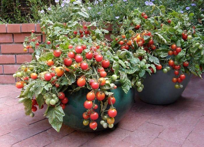 Buah Tomat Cherry