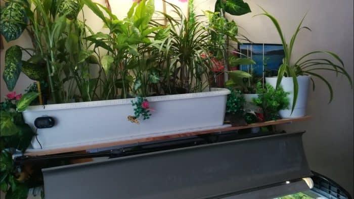 Sebagai tanaman fitofiltrasi untuk air yang terkena polusi