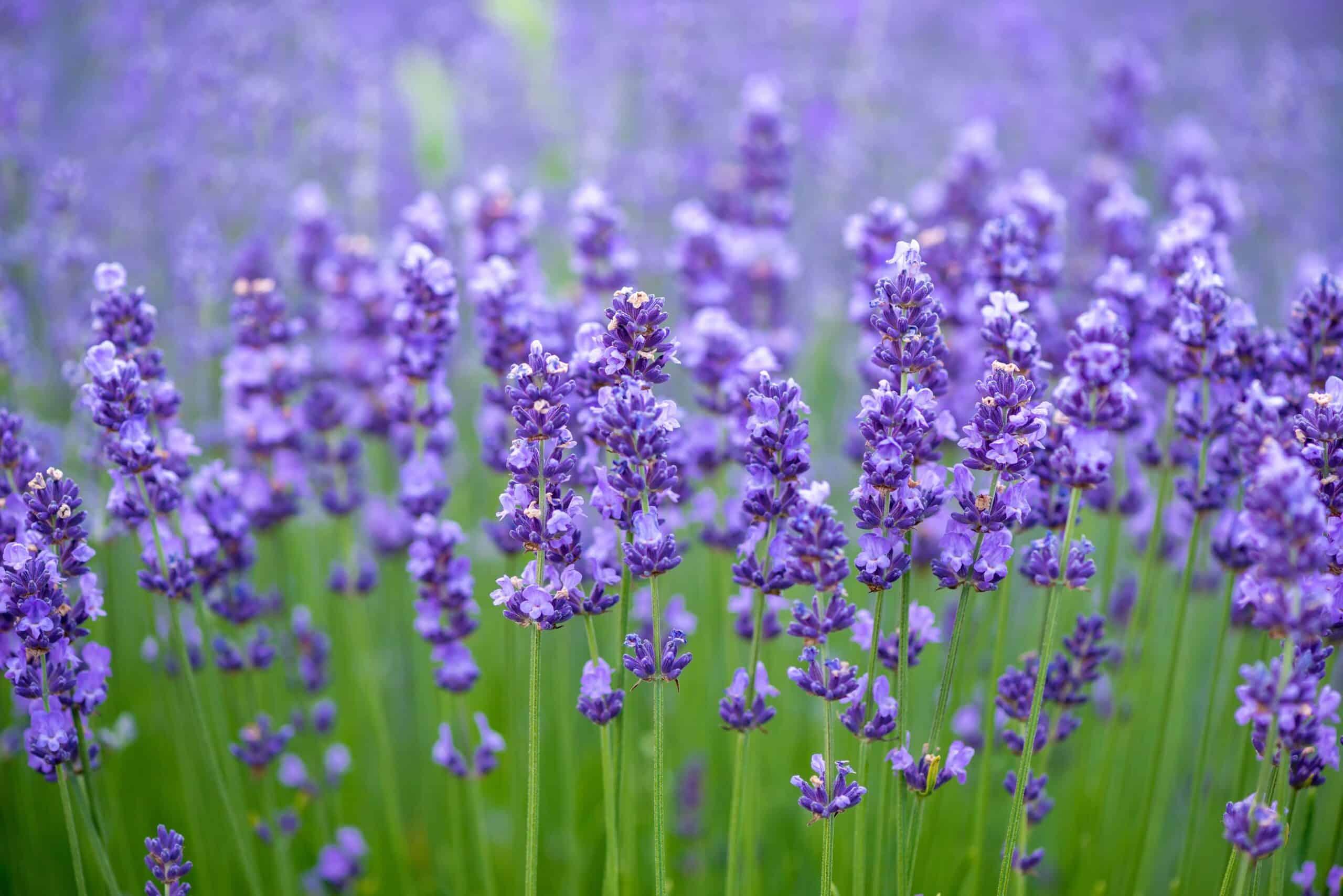 7 Tanaman Lavender Jenis Jenis Kandungan Manfaat