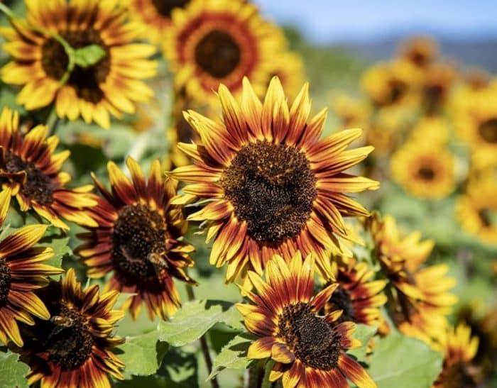 Cara Menanam Bunga Matahari Jenis Syarat Dan Cara Mengolah