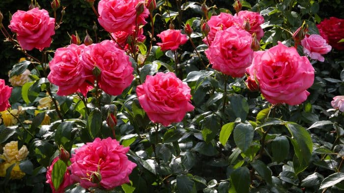 8 Cara Menanam Mawar Lengkap Beserta Gambar Dengan Deskripsi